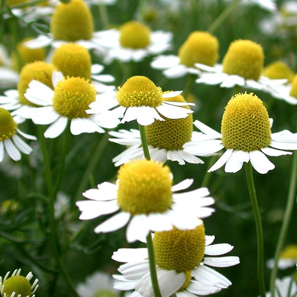 カミツレ花エキス配合低刺激 低刺激 無添加石鹸 敏感肌 乾燥肌 に